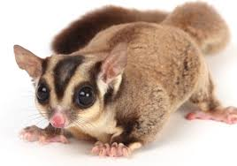 https://seaworld.org/animals/facts/mammals/sugar-glider/